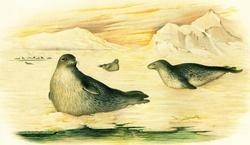 Weddel Seal - from a skin