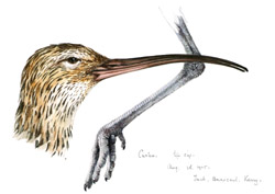 Curlew - head and foot