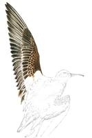 Snipe wing
