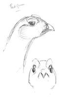 Red grouse - sketch